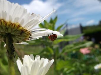 7-spot-ladybird-on-oxeye-daisy-radstock_dporter