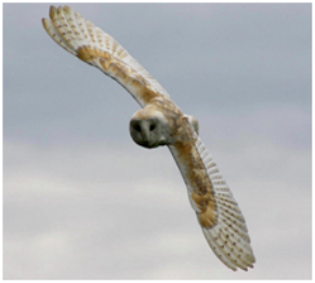 b-owl_in-flight2a