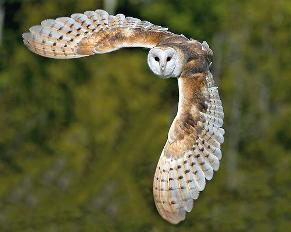 b-owl_in-flight3