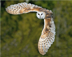 b-owl_in-flight3