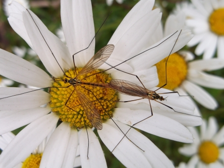 Craneflies on Oxeye daisy, Radstock - D Porter