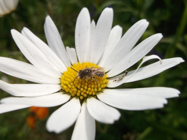 Davies' Colletes on Oxeye daisy, Radstock - D Porter