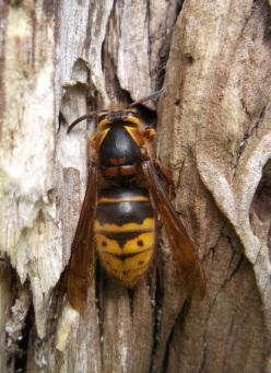 Hornet, Radstock - D Porter