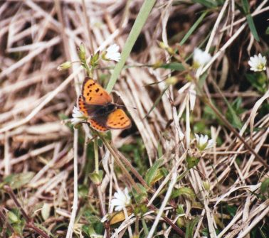 Small Copper - Gary Kingman