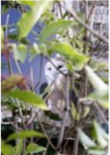 juvenile-b-owl