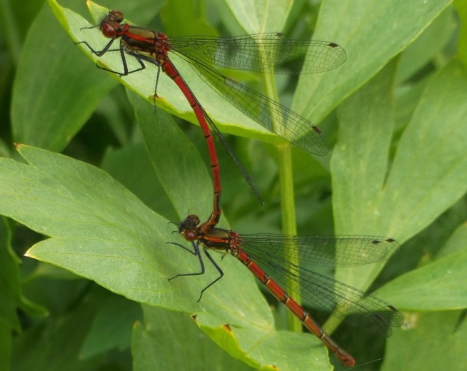 Large red damselfly, Radstock - D Porter