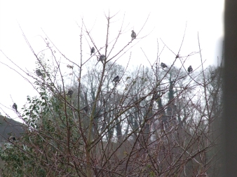 Pied Wagtails in Winter flock at Whitelands, Radstock_Jan2017