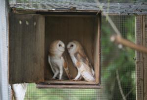 rescued-juvenile-b-owls