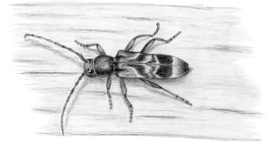 rufous-shouldered-longhorn-beetle-by-ann-mead
