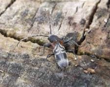rufous-shouldered-longhorn-beetle