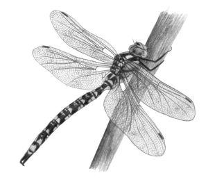 southern-hawker-by-ann-mead