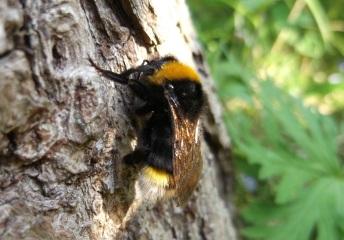 Vestal cuckoo bumblebee, Radstock -D Porter