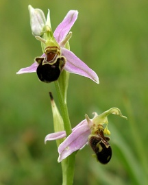 Bee orchid - Diana Walker
