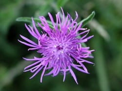 Black knapweed - Diana Walker