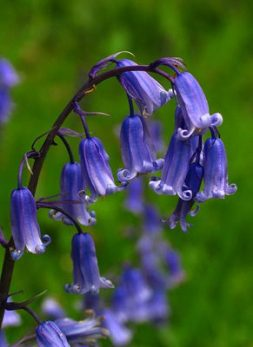 Bluebells - - Diana Walker