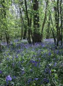Bluebells - Diana Walker