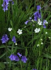 Bluebells and stitchwort - Diana Walker