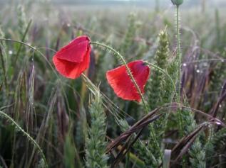 Common poppy - Diana Walker