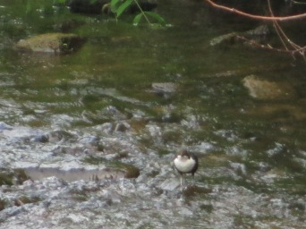 Dipper on the Wellow Brook, Welton_June2013_Judy Hampshire