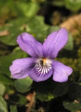 Dog violet - Diana Walker