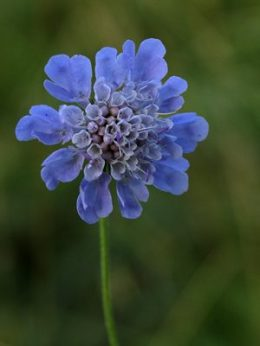 Field scabious - Diana Walker