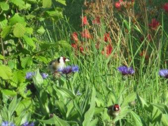 Goldfinches on Centaurea_June2013_Judy Hampshire