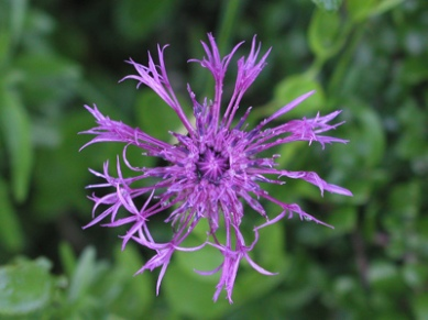 Greater knapweed - Diana Walker