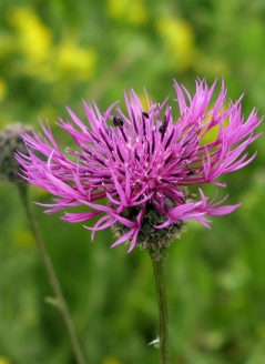 Greater knapweed - Diana Walker
