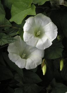 Hedge bindweed - Diana Walker