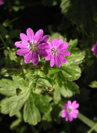 Hedgerow cranesbill - Diana Walker