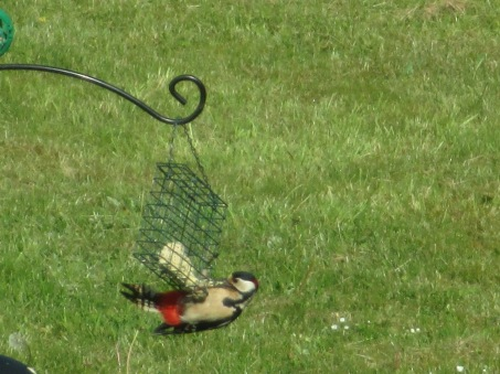 Male woodpecker, Welton - May 2015_Judy Hampshire