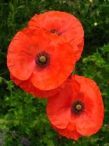 Poppy - Diana Walker