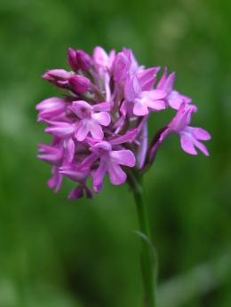 Pyramidal orchid - Diana Walker