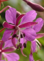 Rosebay willowherb - Diana Walker