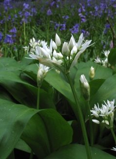 Ramson (Wild garlic) - Diana Walker