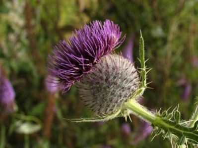 Wooly thistle - Diana Walker