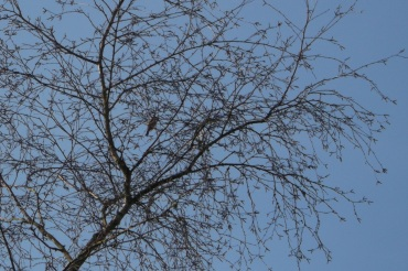 Goldfinch at birch buds - Deborah Porter
