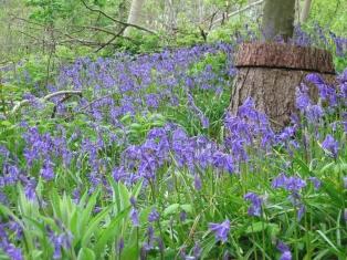 Hyacinthoides non-scripta - bluebell