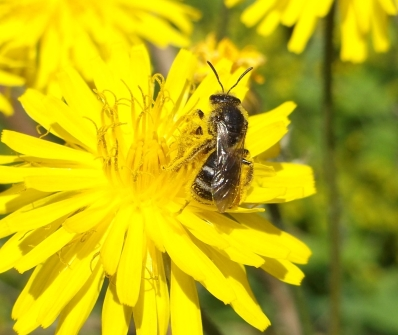 Common furrow-bee, Lasioglossum calceatum - Deborah Porter
