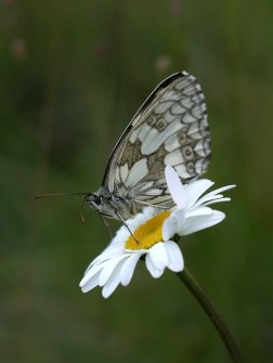Marbled White-Diana Walker
