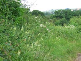 Verge with Bath Asparagus - Ornithogalum pyrenaicum