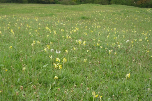 Cowslips at Edford Meadows - Phil Gait