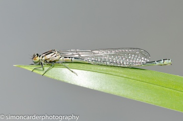 Azure damselfly female