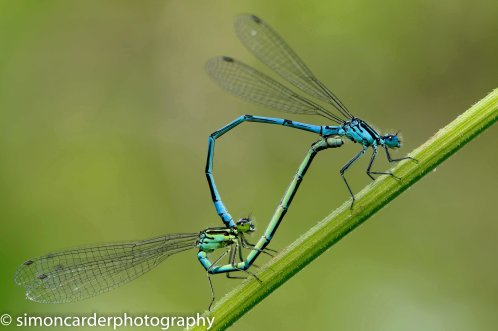 Azure damselfly mating pair