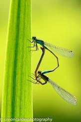 Blue-tailed damselfly mating pair