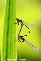 Blue-tailed damselfly mating pair