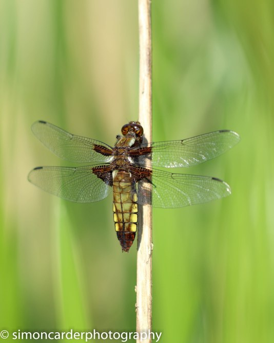 Broad-bodied chaser femals