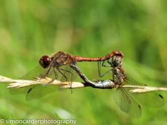 Common Darters mating paid